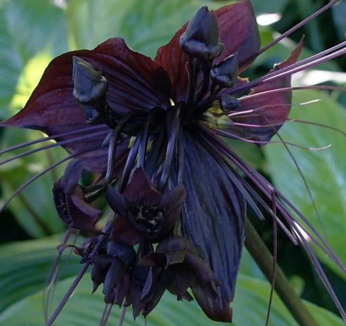 a unique flower named and resembled to a black bat