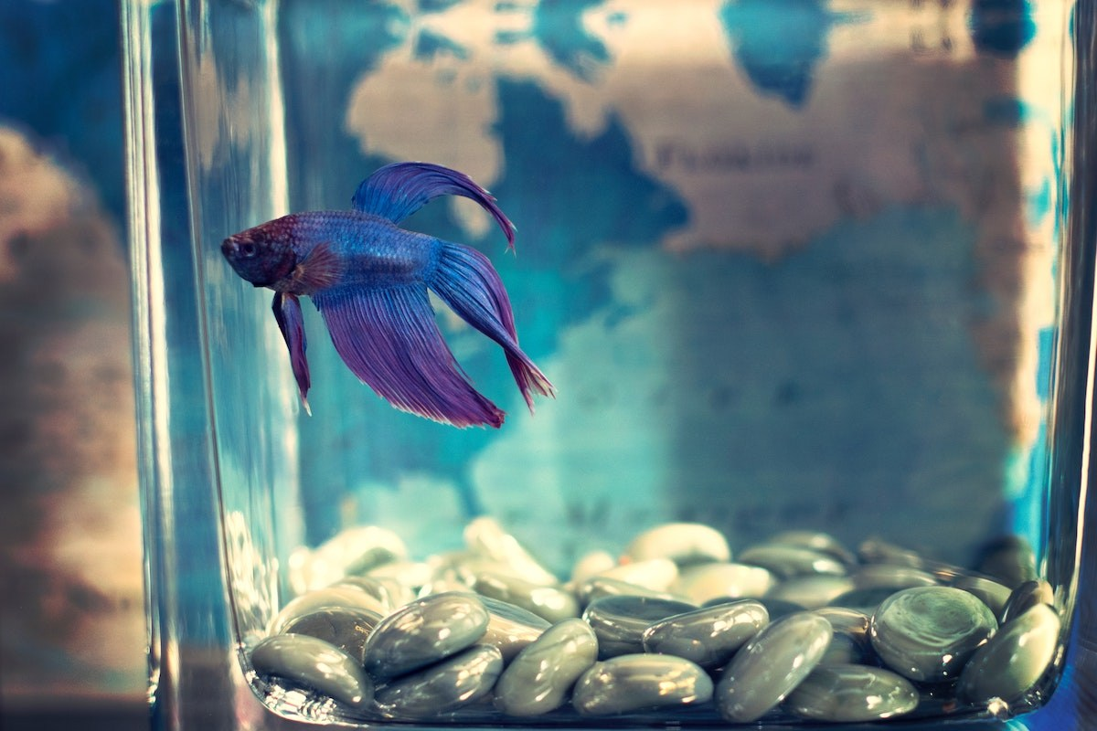 a purple fish in a tank